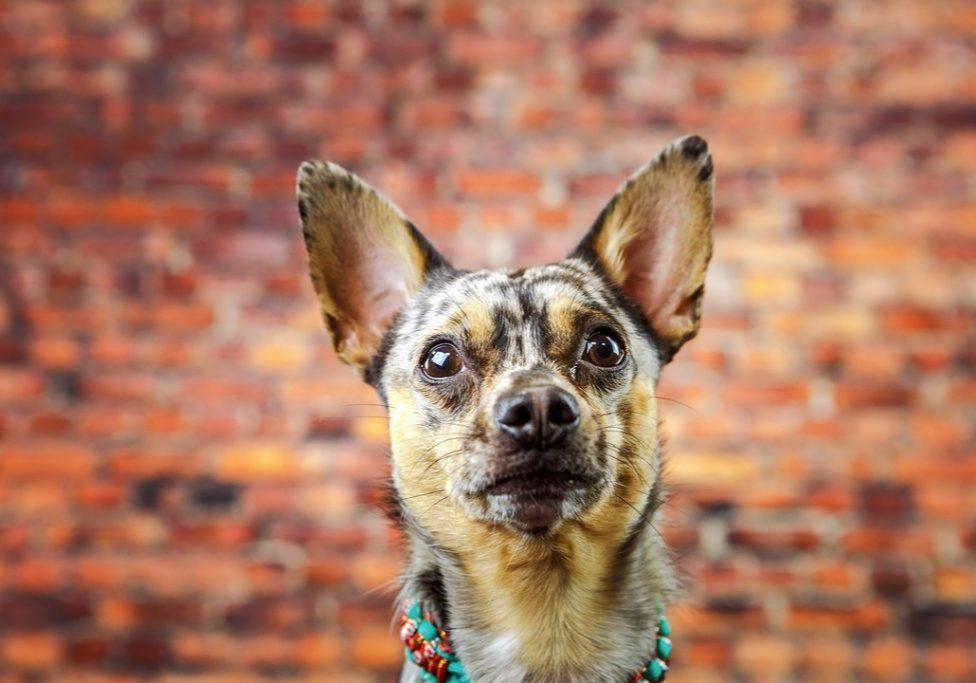 Ralph, Ralphie, Chi.Weenie, dog photographer Huddersfield, West Yorkshire dog photographe, Wedding Fayres Yorkshire mascot